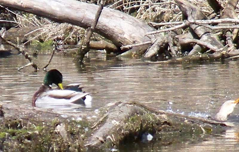 Mallard ducks in Hebron